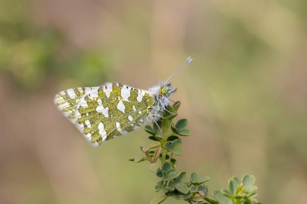 Anthocharis cardaminesは、シロチョウ科の蝶です。