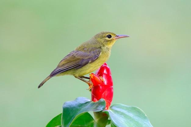 ブラウン・スロート・サンバードanthreptes malacensisタイの美しい鳥