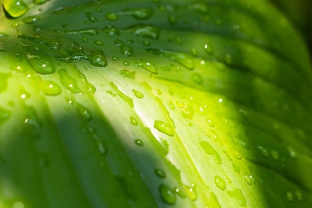 雨滴とanthurirmの緑の葉の上の日光