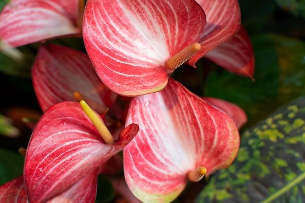 アンスリウムの花のクローズアップ。赤いハート型の花。美しい構図。