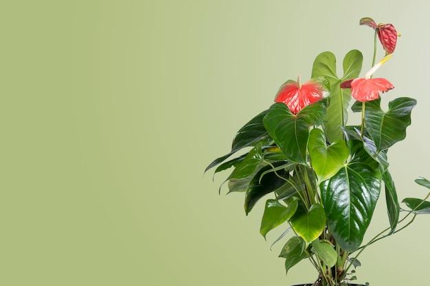 魅力的なデザインと茶色の背景を持つアンスリウムの花側面にテキスト用のスペースがあります