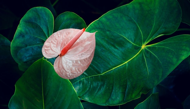 Anthurium tropical leaves with colorful flower