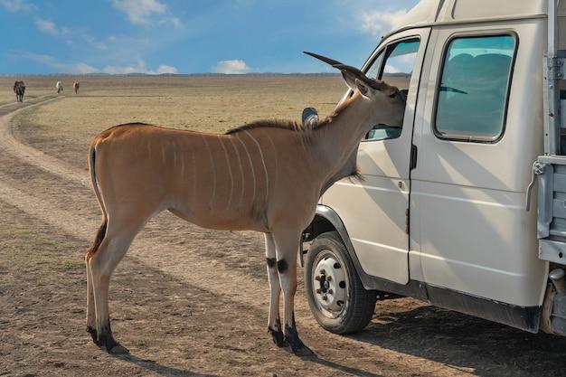 Антилопа на сафари заглядывает в окно машины