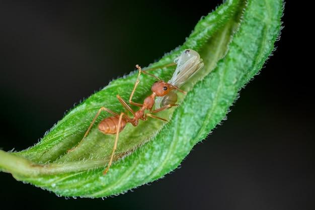 アリは白い幼虫を運んでいます
