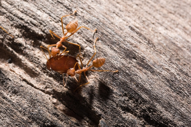 Ants are transporting their food prey to the nest.