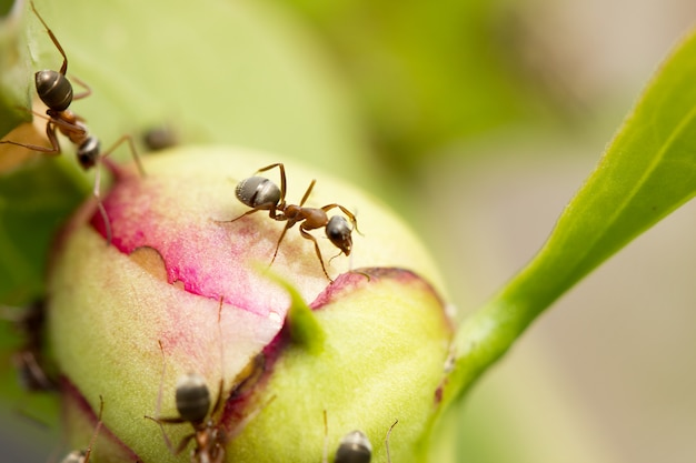 Ants on a big flower, macro nature