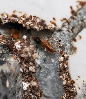 벽 모서리에 파편 터널을 만드는 개미. 매크로 사진.