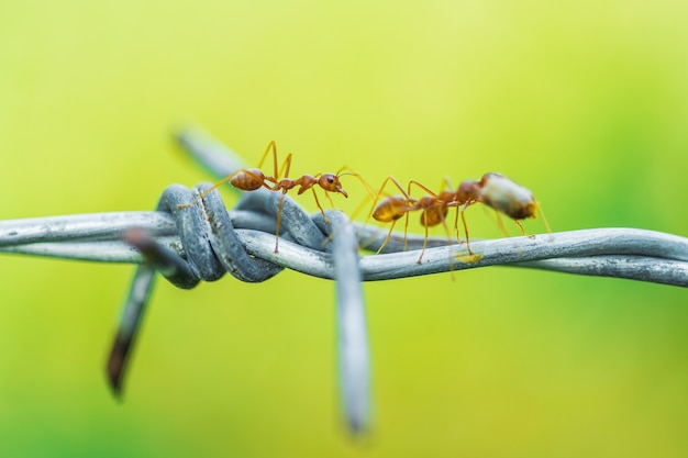 Ants carrying food on wire