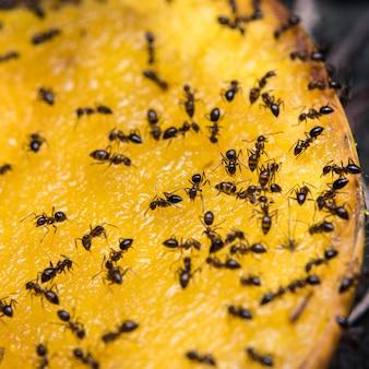 マンゴーを食べる蟻