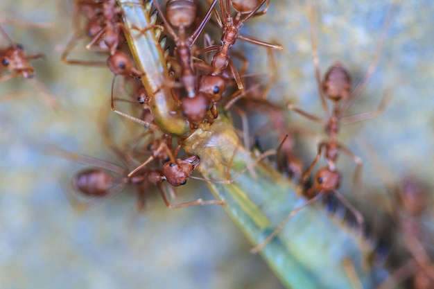 Ants troop trying to move a dead grasshopper