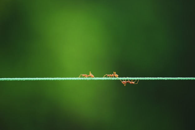 Ants walking on rope in nature background.