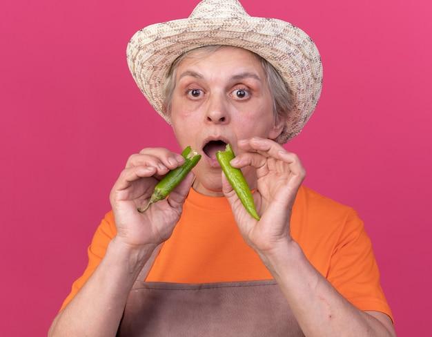 コピースペースとピンクの壁に分離された壊れた唐辛子の一部を保持しているガーデニング帽子をかぶって気になる年配の女性の庭師