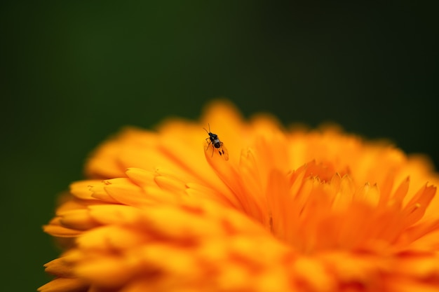 The aphid is sitting on a orange flower on a dark green background. macro photo of an insect