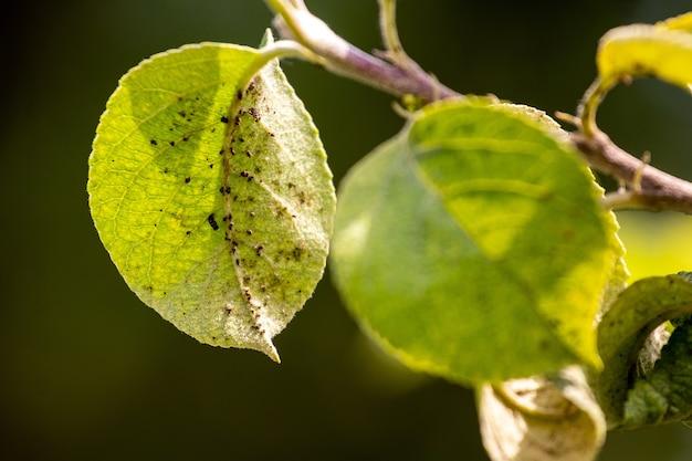 Тля на молодом зеленом листе яблони. тля повреждает дерево