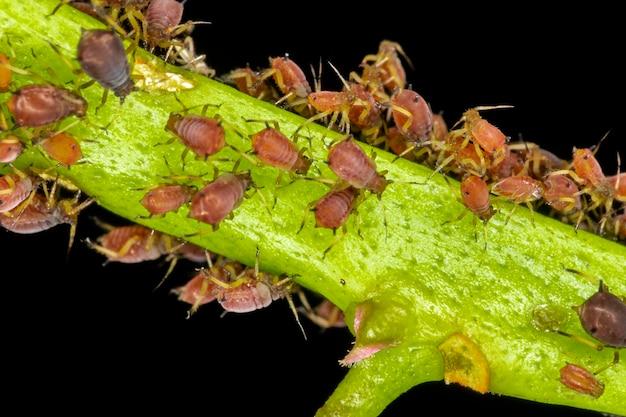 진딧물 또는 식물 이가 식물 수액, 진딧물 슈퍼패밀리 또는 aphidoidea를 먹는 작은 곤충입니다.