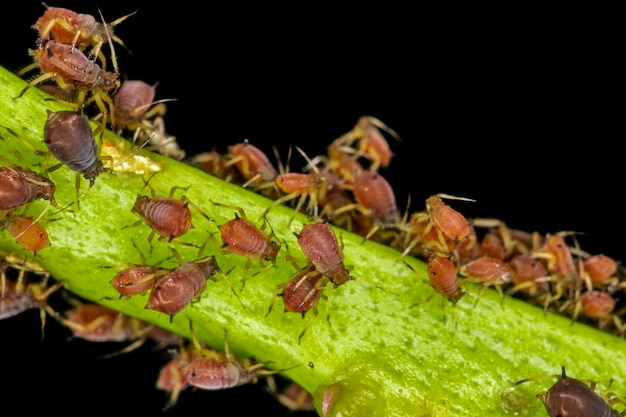 Aphids or plant lice are tiny insects that feed on plant sap, the aphidid superfamily, or aphidoidea.