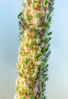 Aphids on rose stems