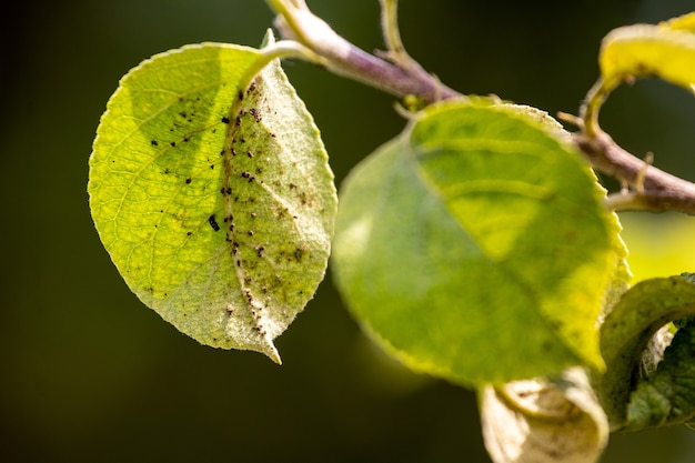 Aphids on a young green leaf of an apple tree. aphids damage the tree