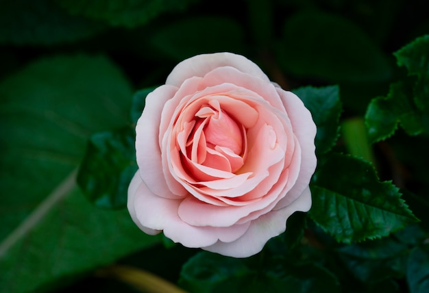 Aphrodite hybrid tea rose in english garden, a beautiful single mid pink rose with medium fragrance, charming pink flowers in salmon pink colour for summer to autumn