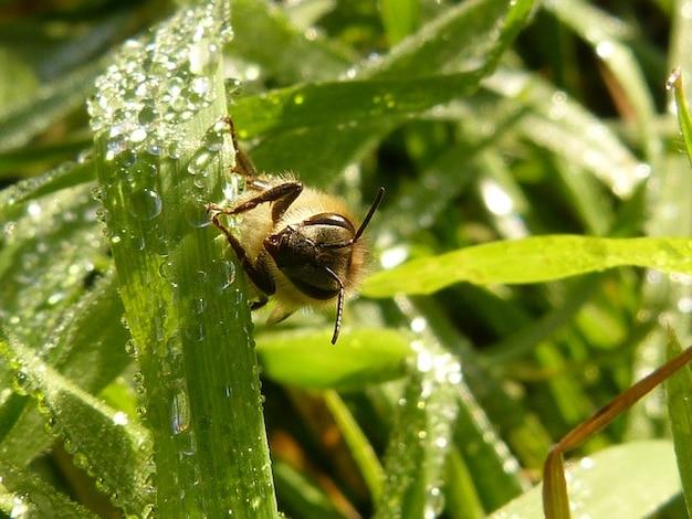 Apiの蜂蜜ハチ目ミツバチ昆虫