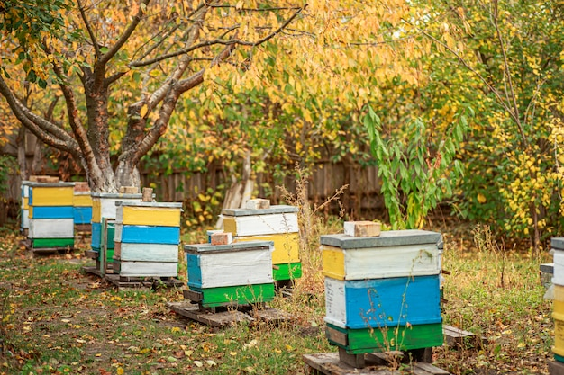 Apiary with wooden old beehives in fall. preparing bees for wintering. autumn flight of bees before frosts
