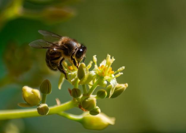 Европейская медоносная пчела (apis mellifera), опыляющий цветок авокадо (persea americana)