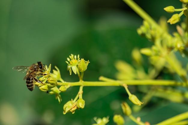 ヨーロッパのミツバチ(apis mellifera)、受粉アボカドの花(パーシーアメリカーナ)