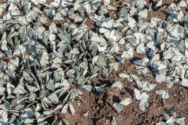 Aporia crataegiの大群は、地面に黒い縞模様の白い家族pieridae。