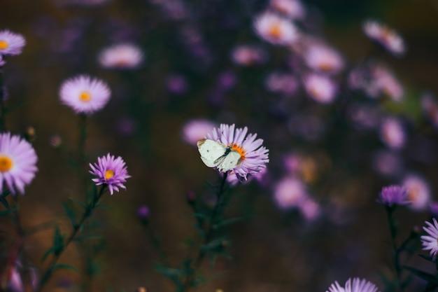 黒縞の白い蝶、紫デイジーのaporia crataegi
