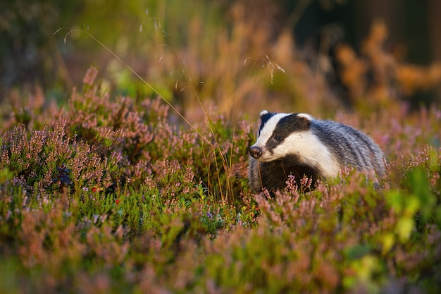 Appealing european badger looking in summer nature with head held up