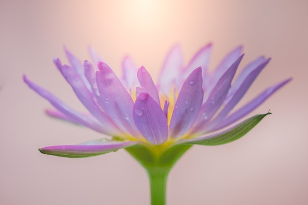 The appearance of a purple lotus flower is a beautiful