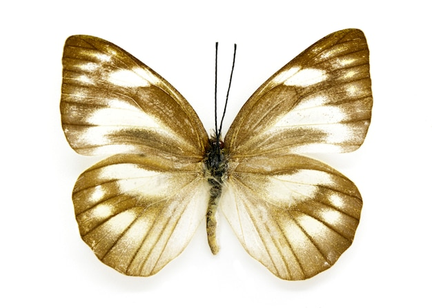 Appias libythea olferna бабочка на белом фоне