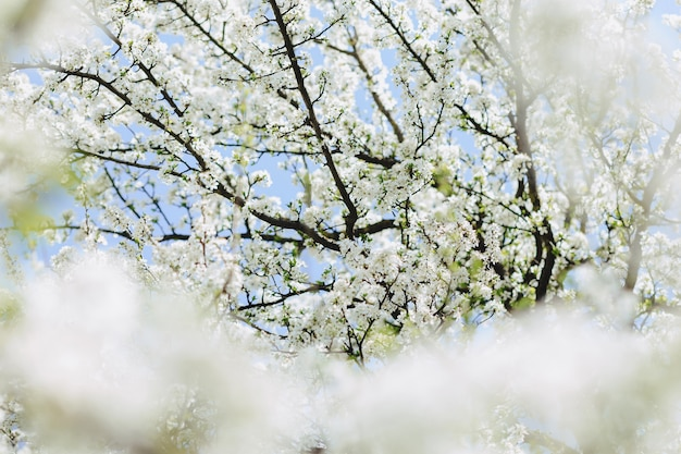 Apple blossom or cherry blossom on a sunny spring day