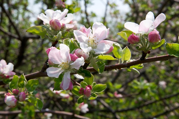 사과 꽃 가까이 봄