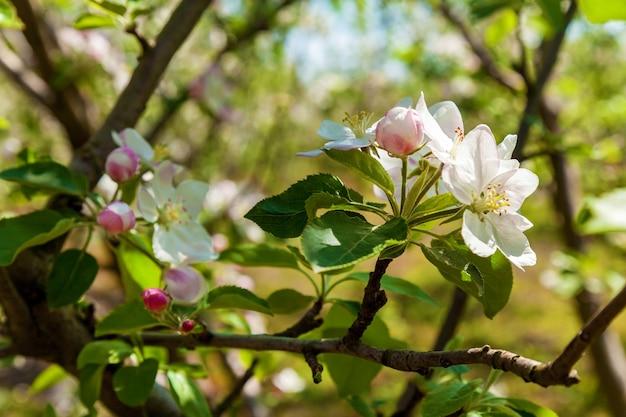 春のリンゴの花。自然の背景、春の花の上の花リンゴ
