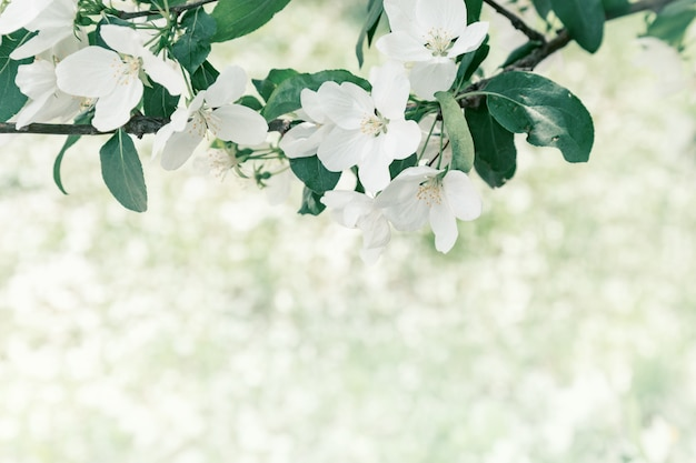 Apple blossom on spring tree. white flowers and fresh green leaves on branch in nature. natural environment background with copy space. soft focus.