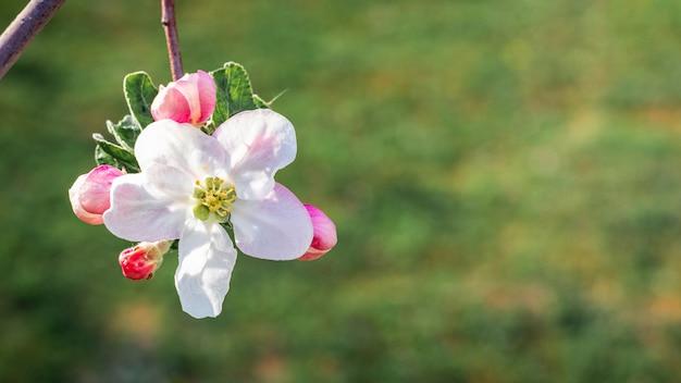 リンゴの花。緑の草の上のリンゴの木の花