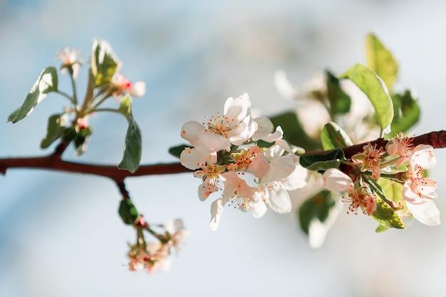明るい日差しの中でリンゴの花が咲いています。
