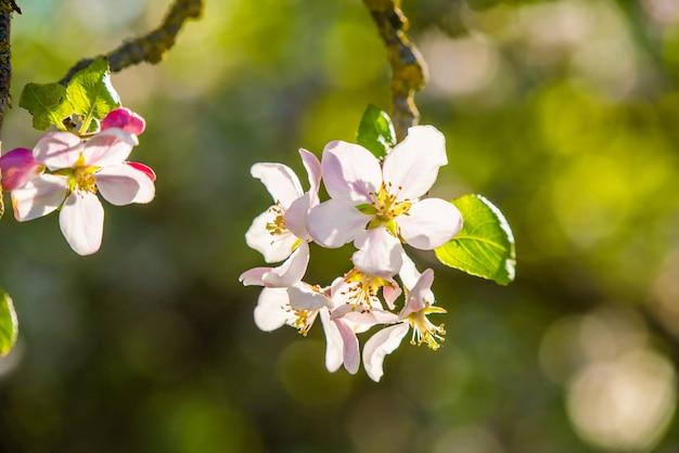 日光の下でリンゴの花がクローズアップ。
