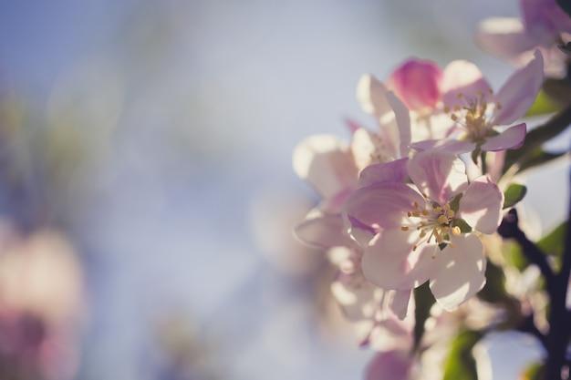 흐린 된 자연 배경 위에 사과 꽃