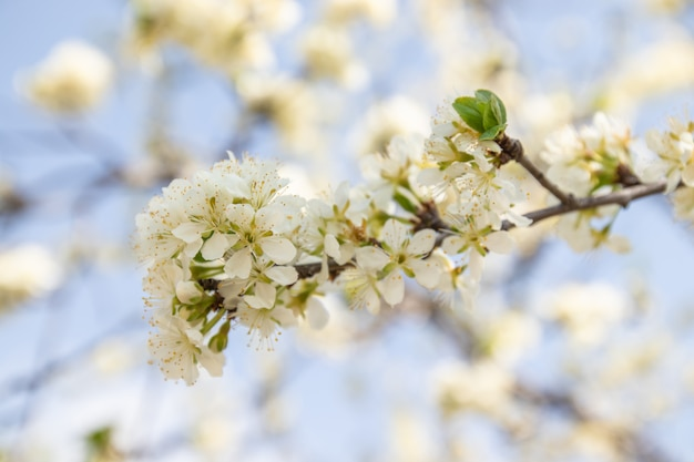 Apple blossoms in soft dreamy sunlight, panoramic