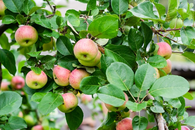 Apple fruits on tree bush, close up