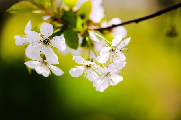 사과 정원, 나무에 꽃. 봄 시간에 꽃 과수원