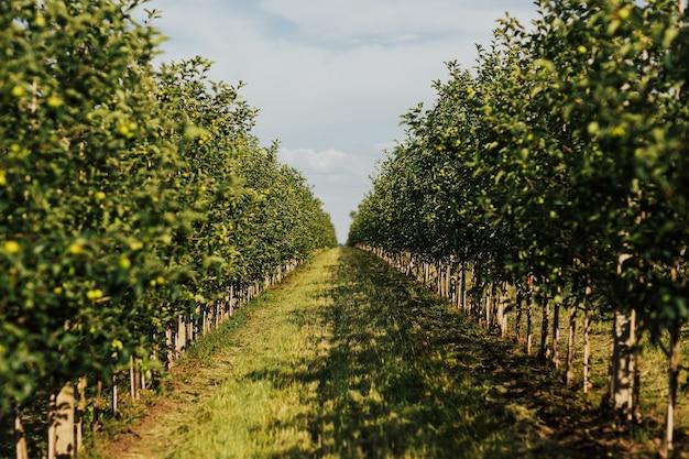 熟した青リンゴがいっぱいのリンゴ園。秋の季節に果樹園の木にリンゴ。