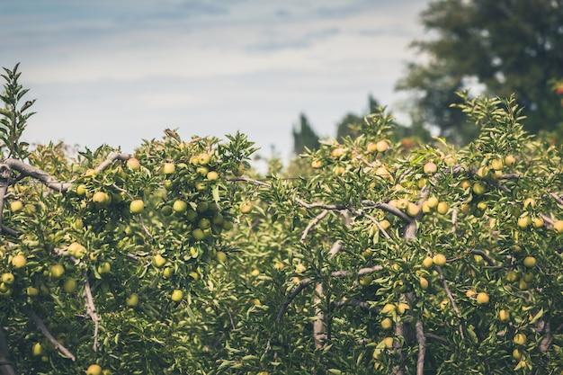 Apple garden full of riped green fruits