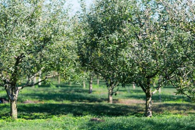 Яблоневый сад в солнечных лучах.