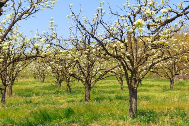 Apple garden with blossoming trees