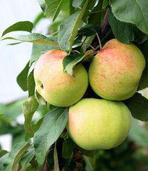 リンゴは木に成長しています。自然条件の有機リンゴ
