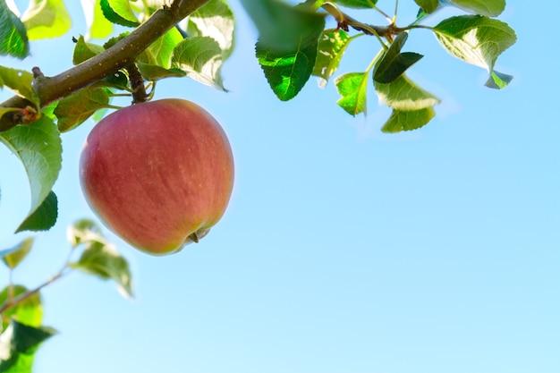 Яблоко висит на дереве, голубое небо в