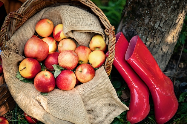 Apple harvest. ripe red apples in the basket on the green grass.